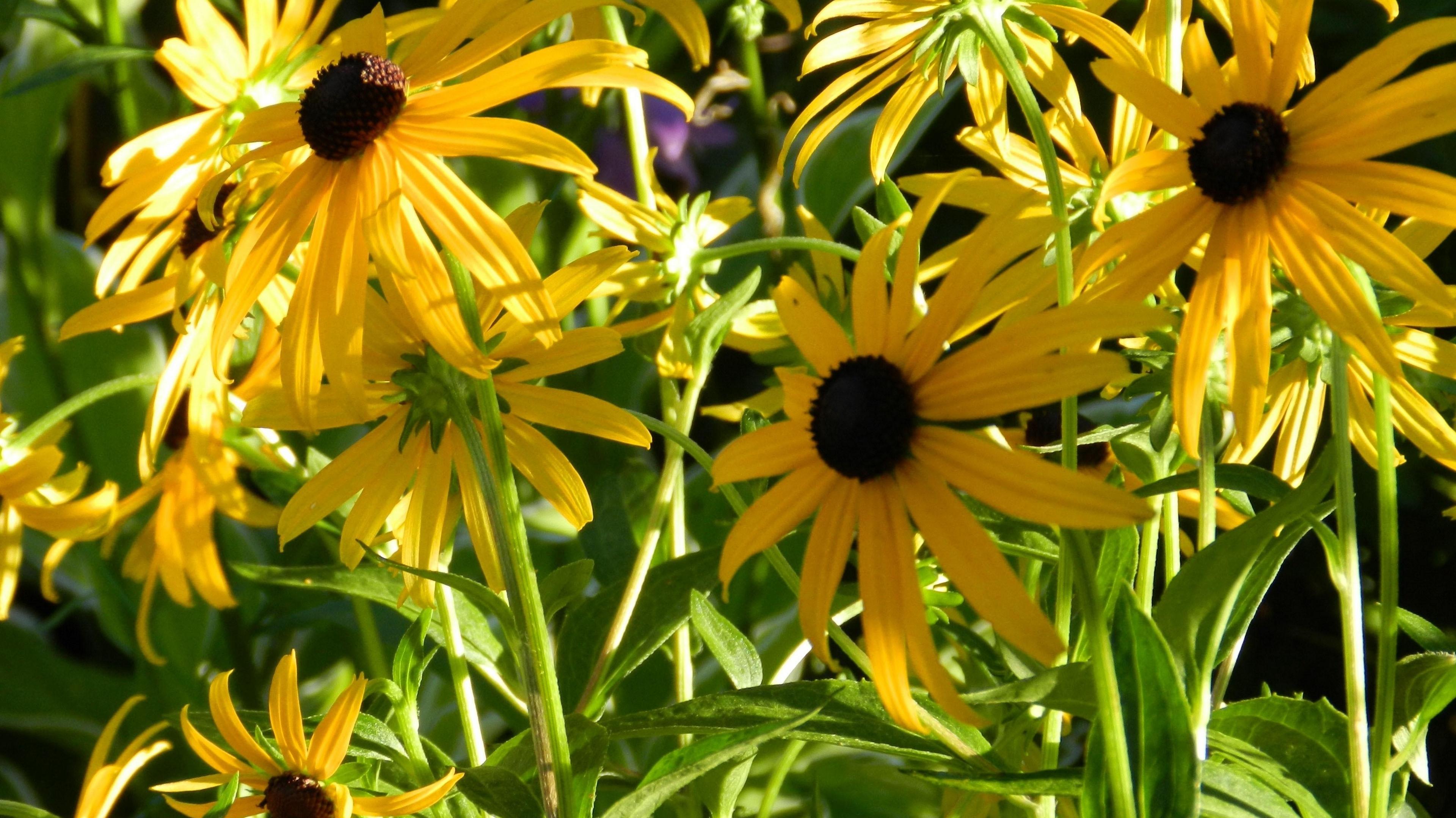 rudbeckia flowerbed close up sharpness 4k 1540064197 - rudbeckia, flowerbed, close up, sharpness 4k - Rudbeckia, flowerbed, close-up
