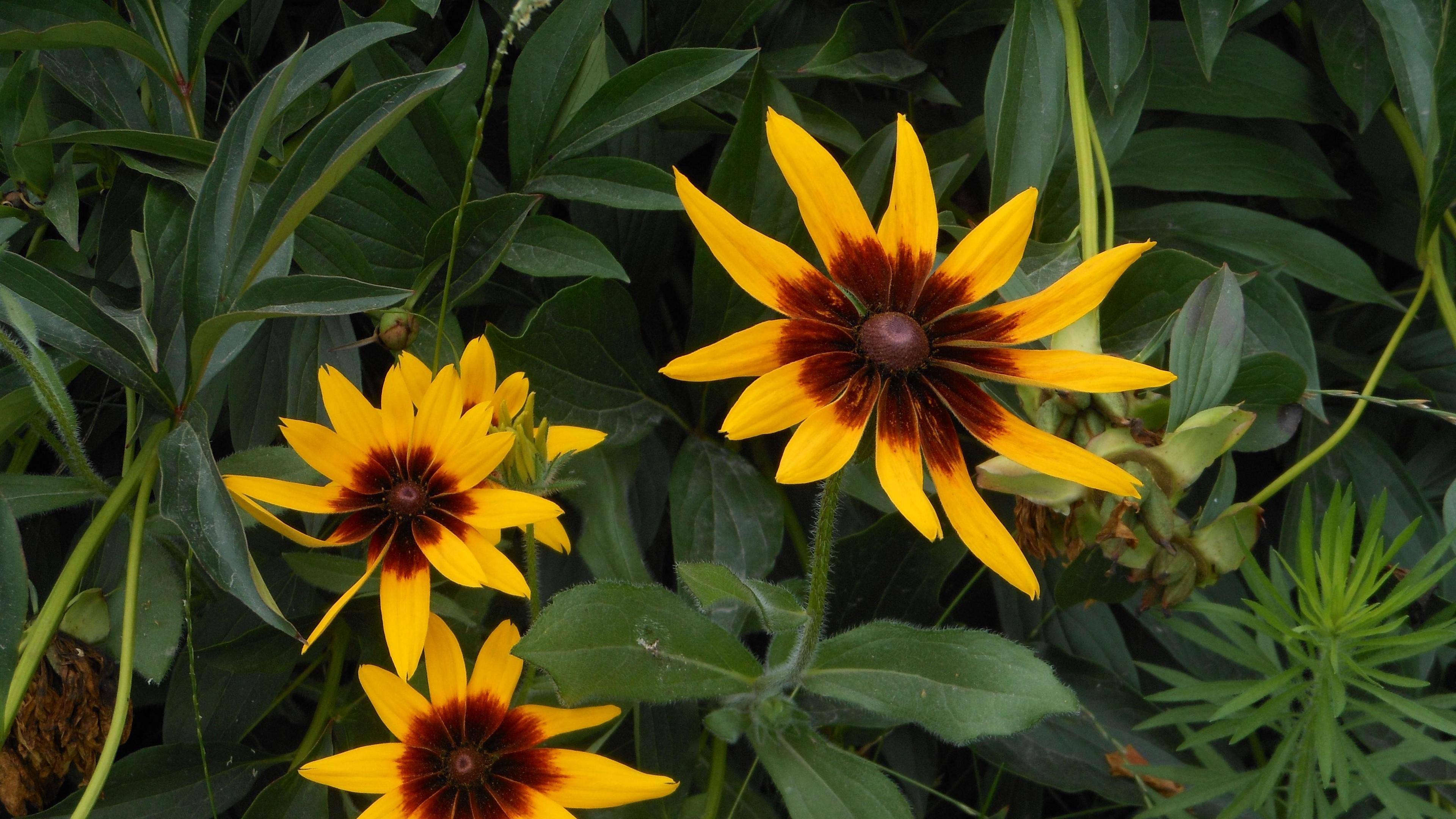 rudbeckia flowers herbs summer 4k 1540064135 - rudbeckia, flowers, herbs, summer 4k - Rudbeckia, herbs, Flowers