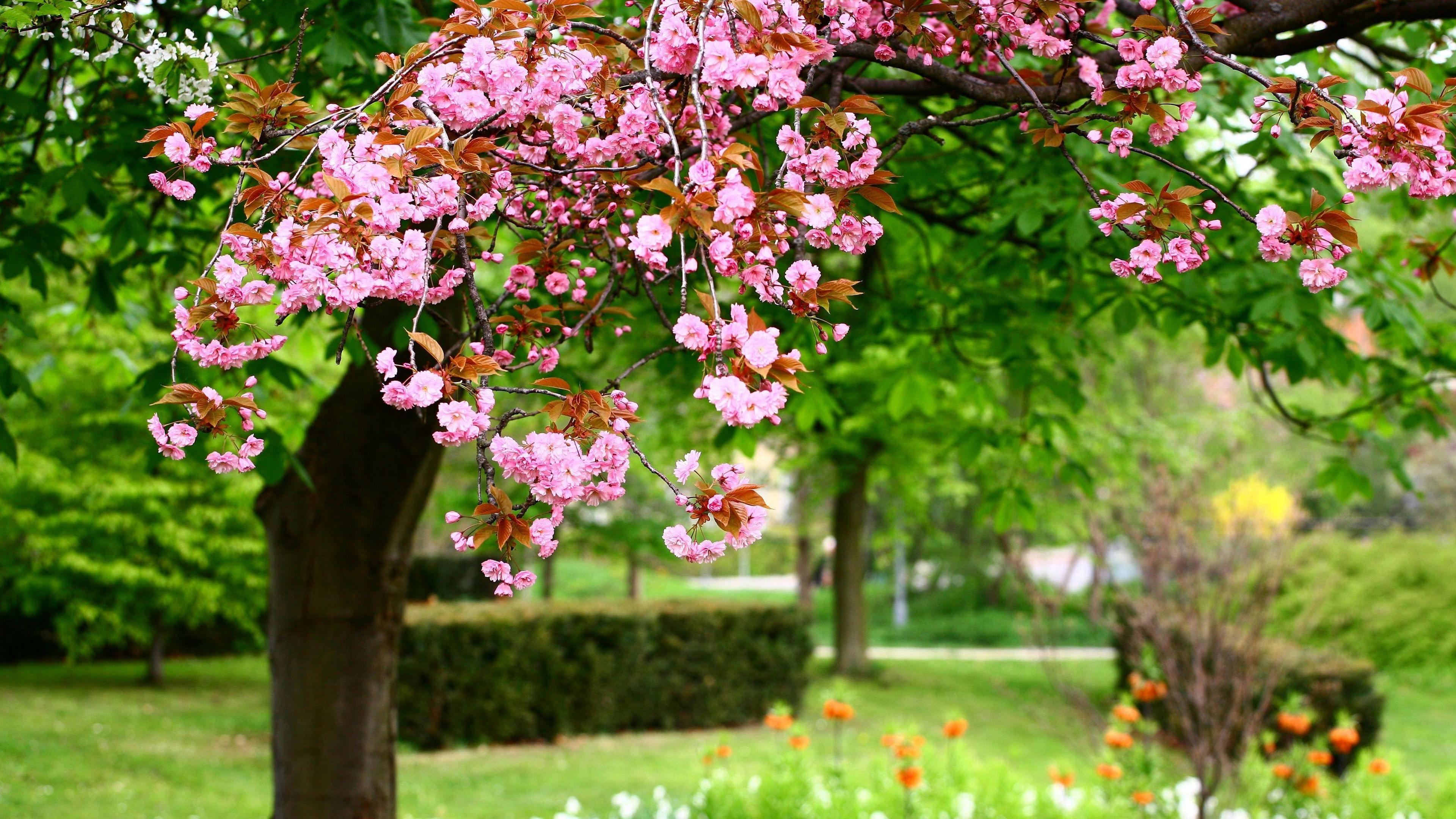 sakura bloom spring garden sharpness 4k 1540065057 - sakura, bloom, spring, garden, sharpness 4k - Spring, Sakura, Bloom
