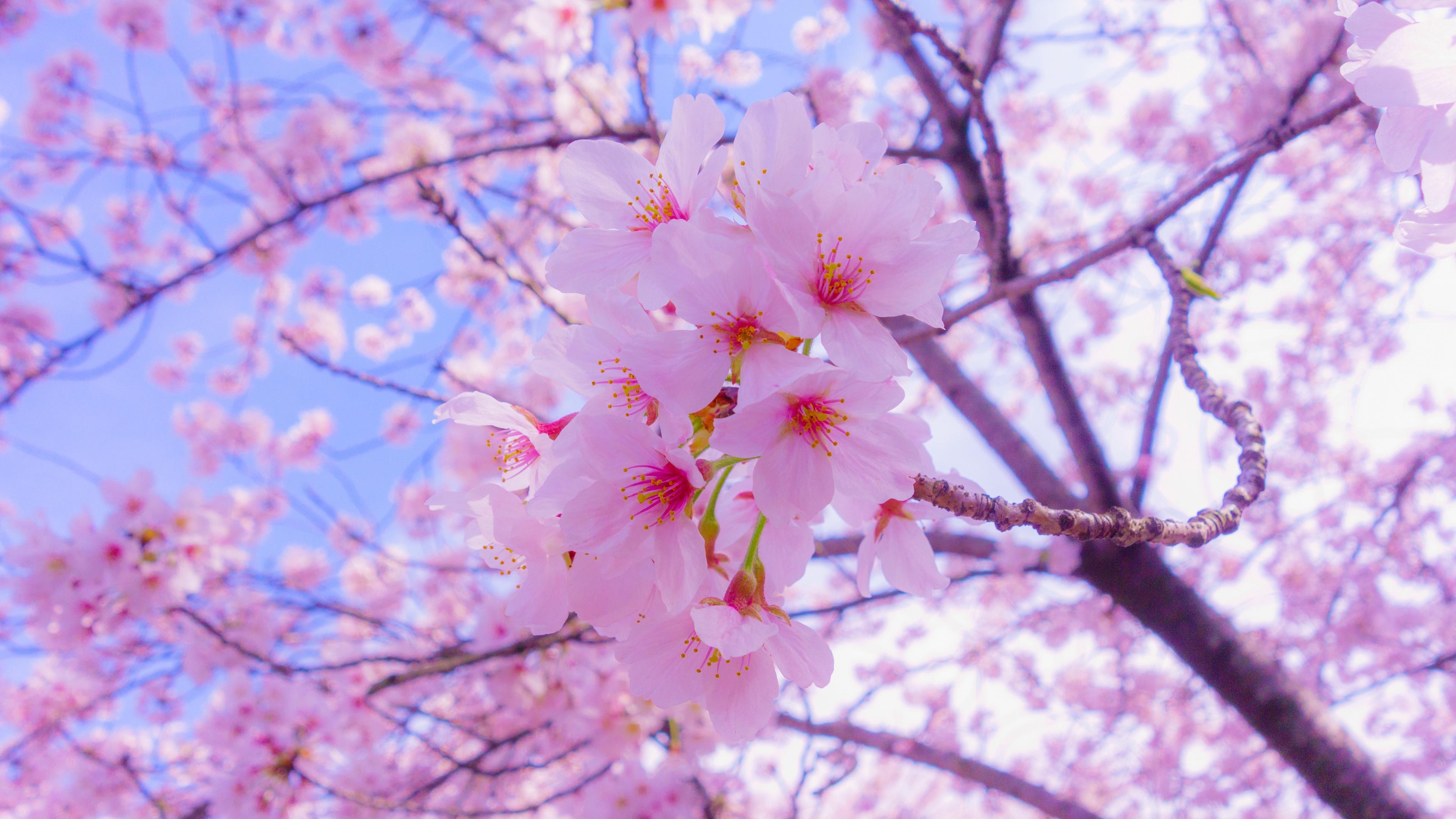 sakura flowers bloom spring pink 4k 1540065161 - sakura, flowers, bloom, spring, pink 4k - Sakura, Flowers, Bloom