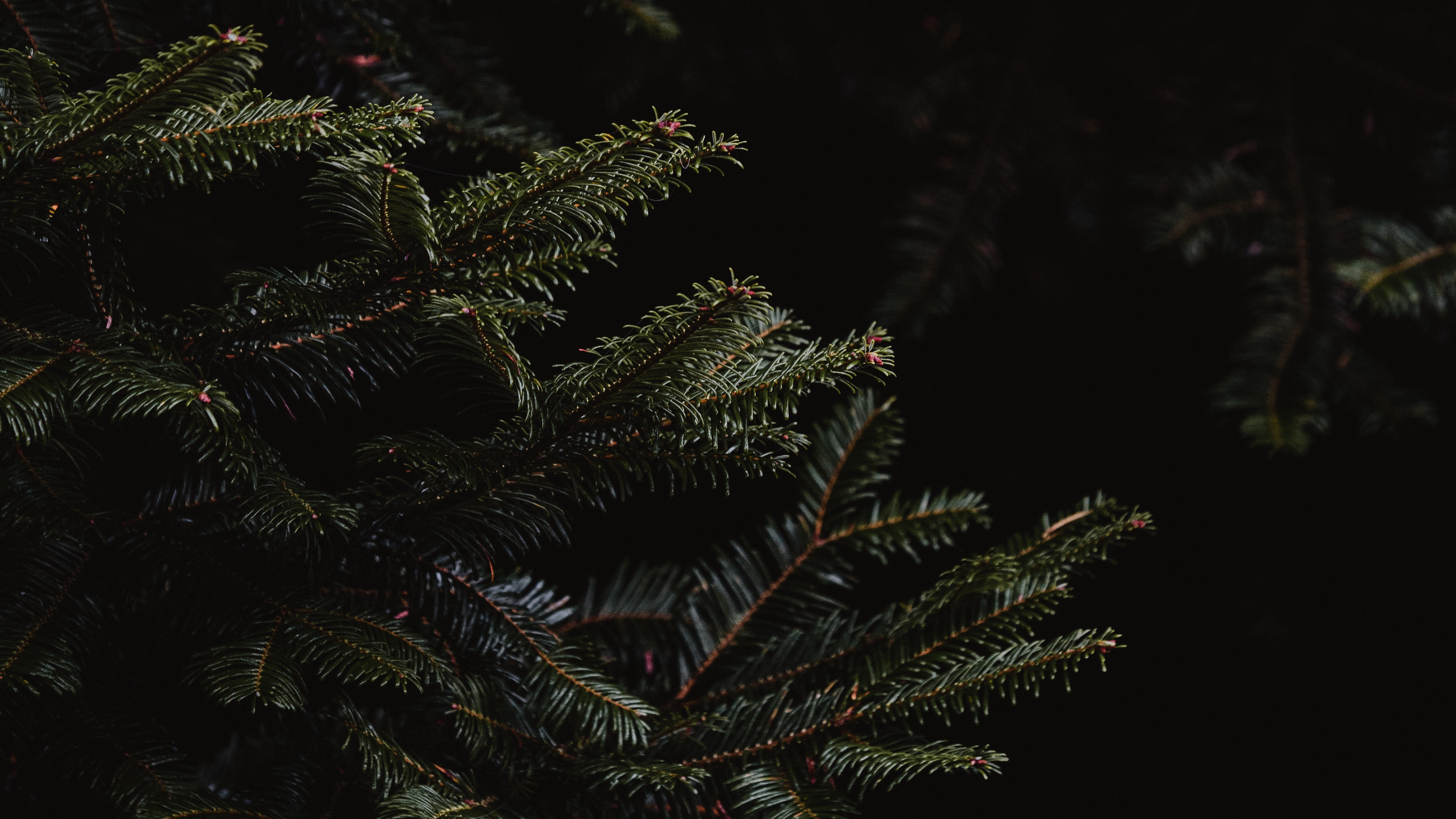 spruce branches dark needles 4k 1540575232 - spruce, branches, dark, needles 4k - spruce, Dark, branches