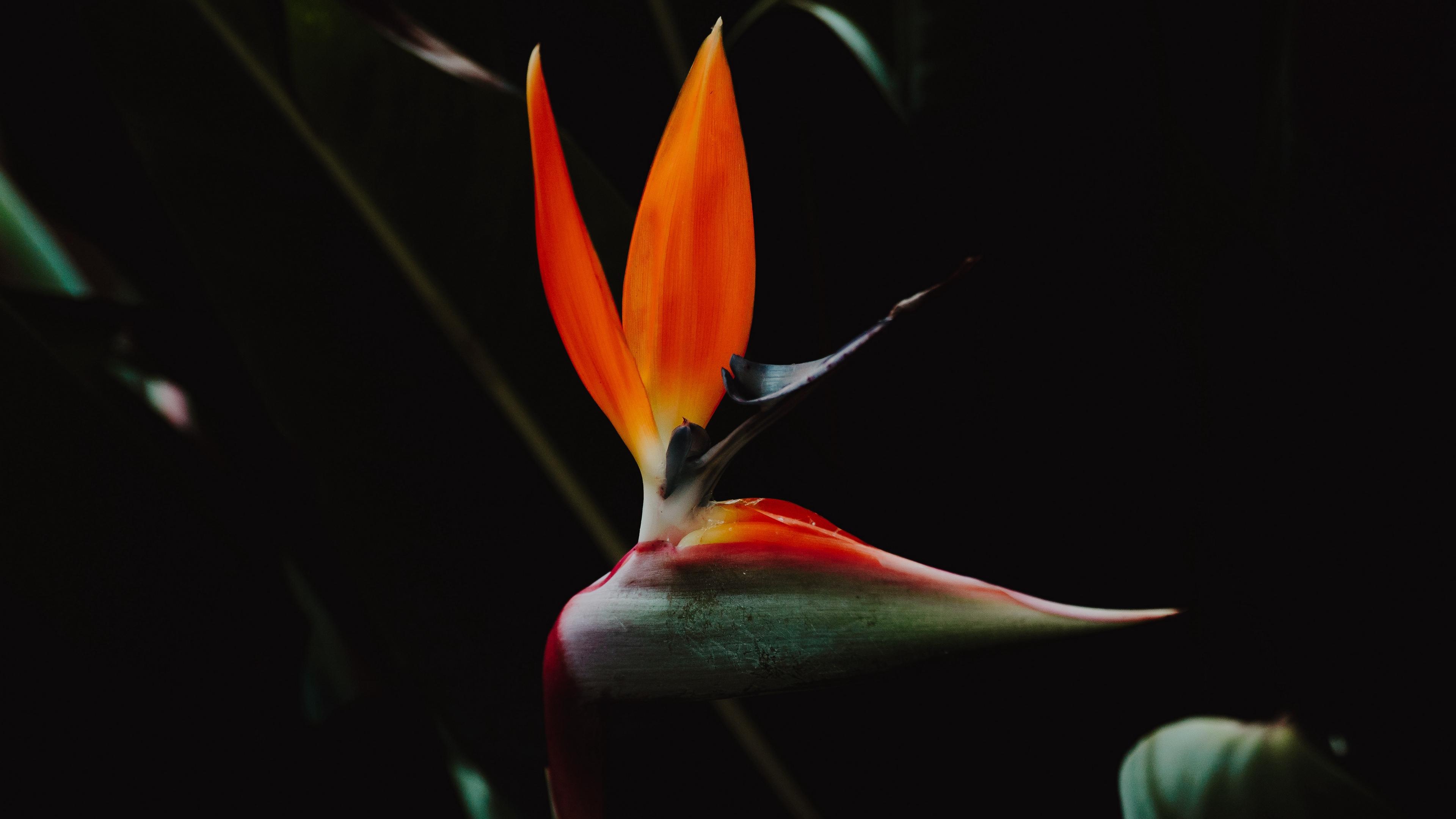 strelitzia bird of paradise flower flower petals 4k 1540575114 - strelitzia, bird of paradise flower, flower, petals 4k - strelitzia, flower, bird of paradise flower