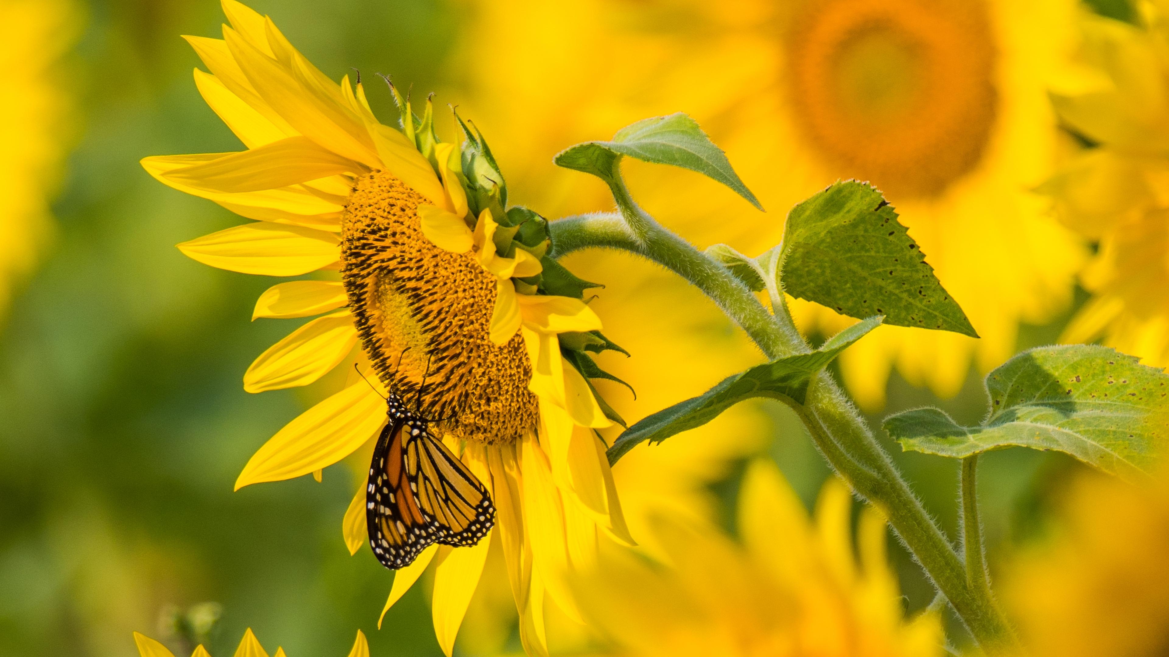 sunflower butterfly yellow summer 4k 1540064899 - sunflower, butterfly, yellow, summer 4k - yellow, Sunflower, Butterfly