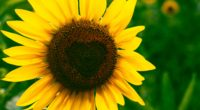 sunflower heart bloom flower 4k 1540064560 200x110 - sunflower, heart, bloom, flower 4k - Sunflower, Heart, Bloom
