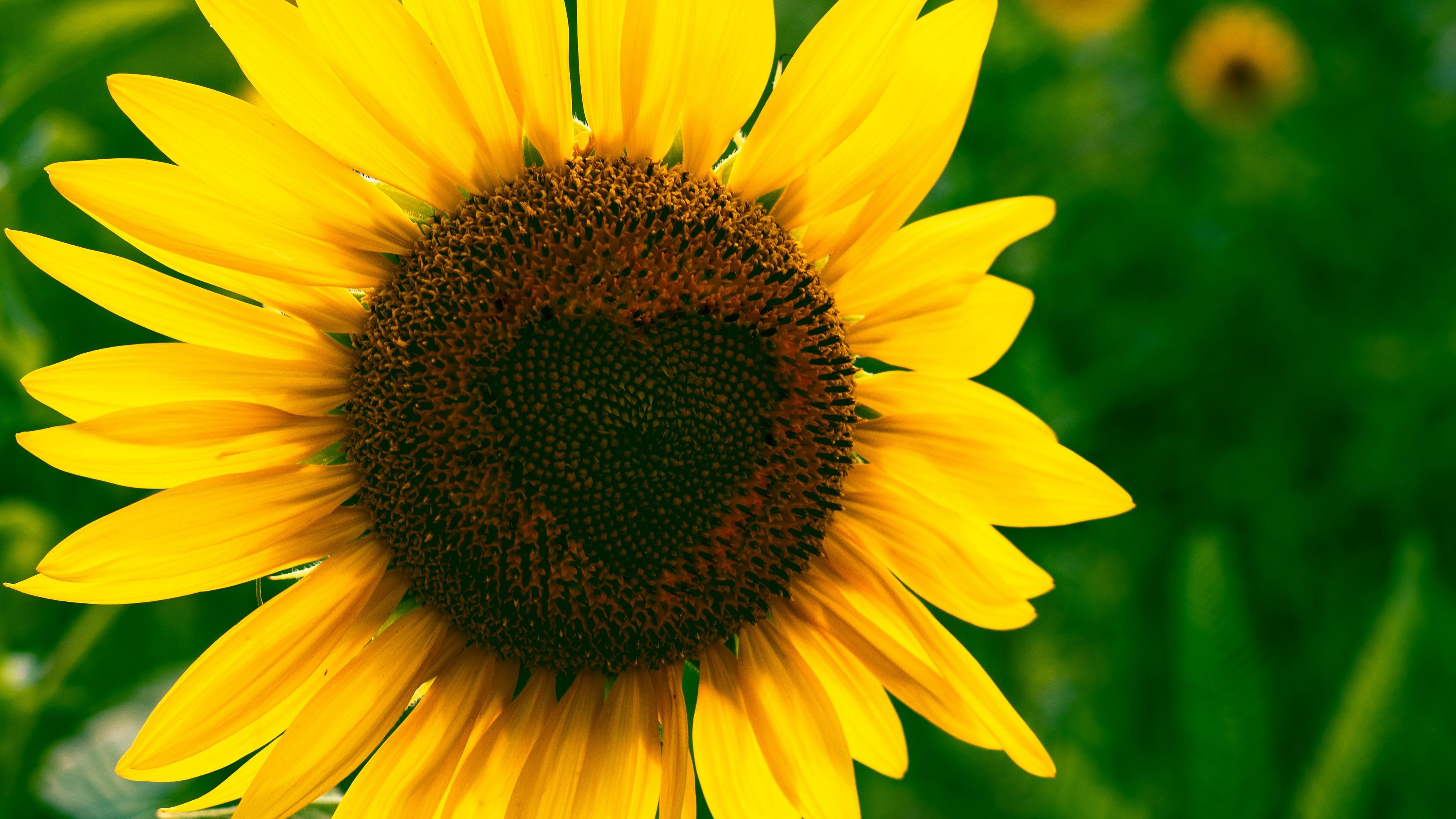 sunflower heart bloom flower 4k 1540064560 - sunflower, heart, bloom, flower 4k - Sunflower, Heart, Bloom