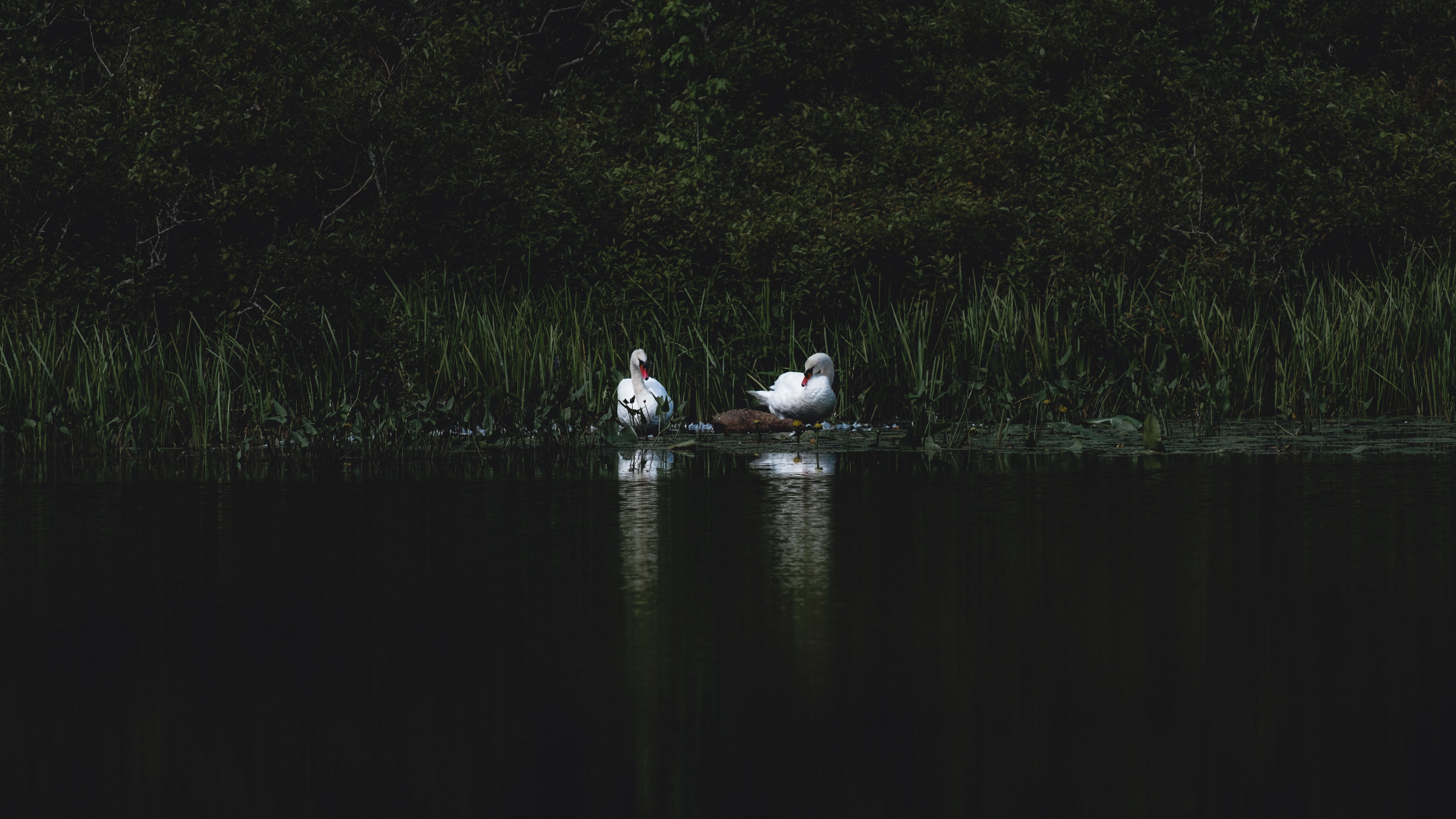 swans bird pond grass 4k 1540574935 - swans, bird, pond, grass 4k - Swans, pond, Bird