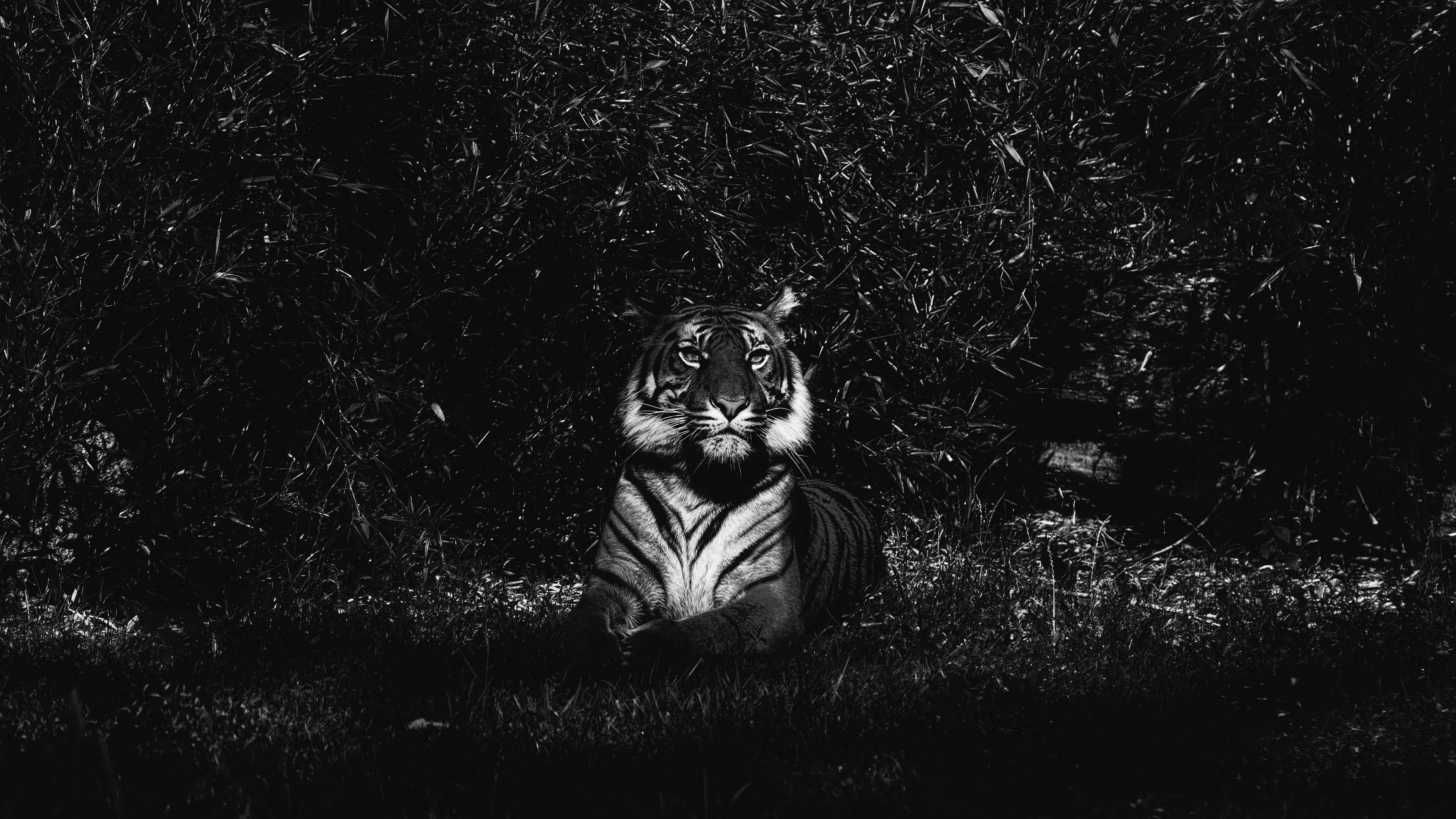 Wallpaper 4k Tiger Predator Lying Bw 4k Lying Predator