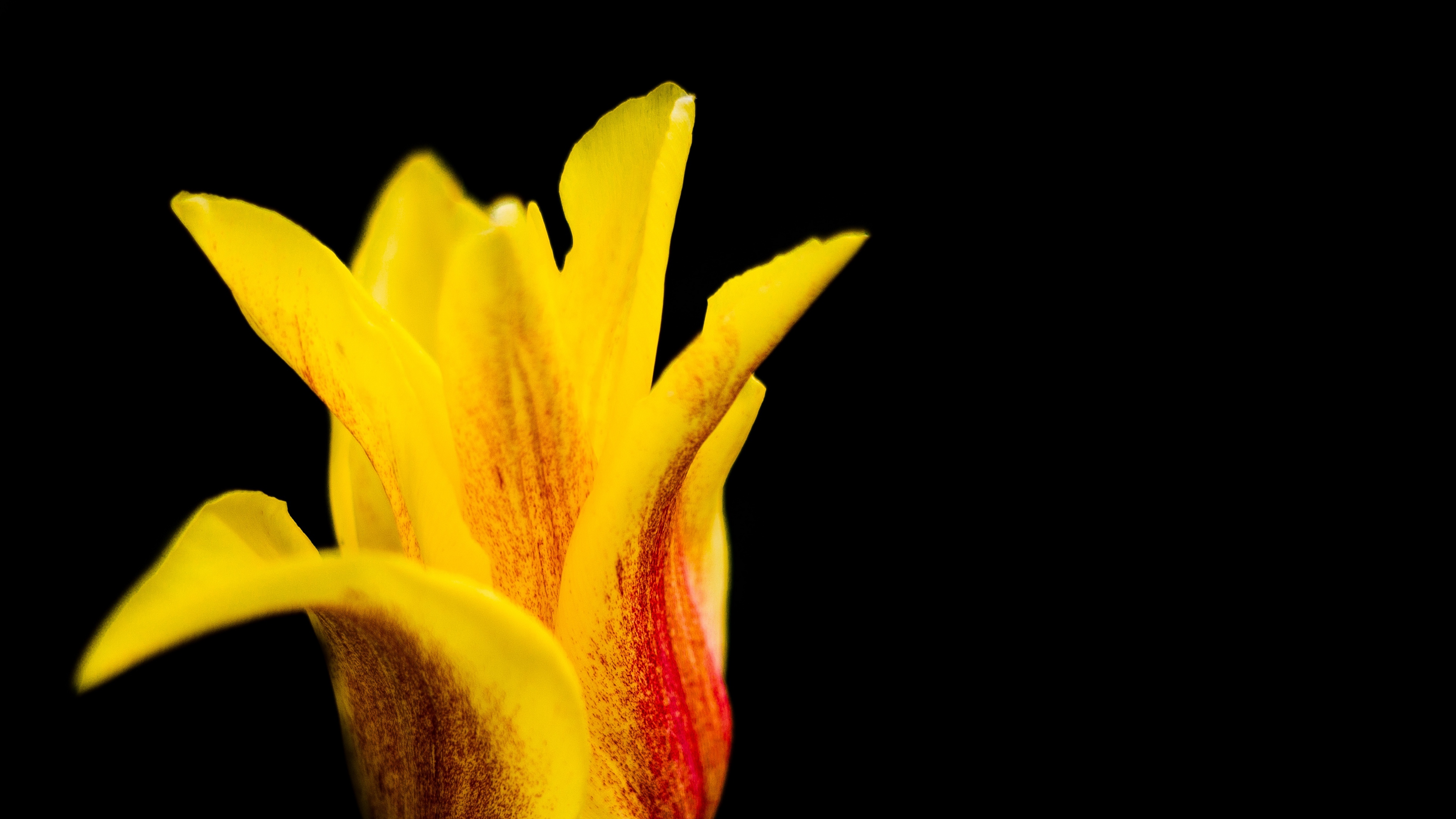 tulip flower bud petals 4k 1540064723 - tulip, flower, bud, petals 4k - Tulip, flower, bud