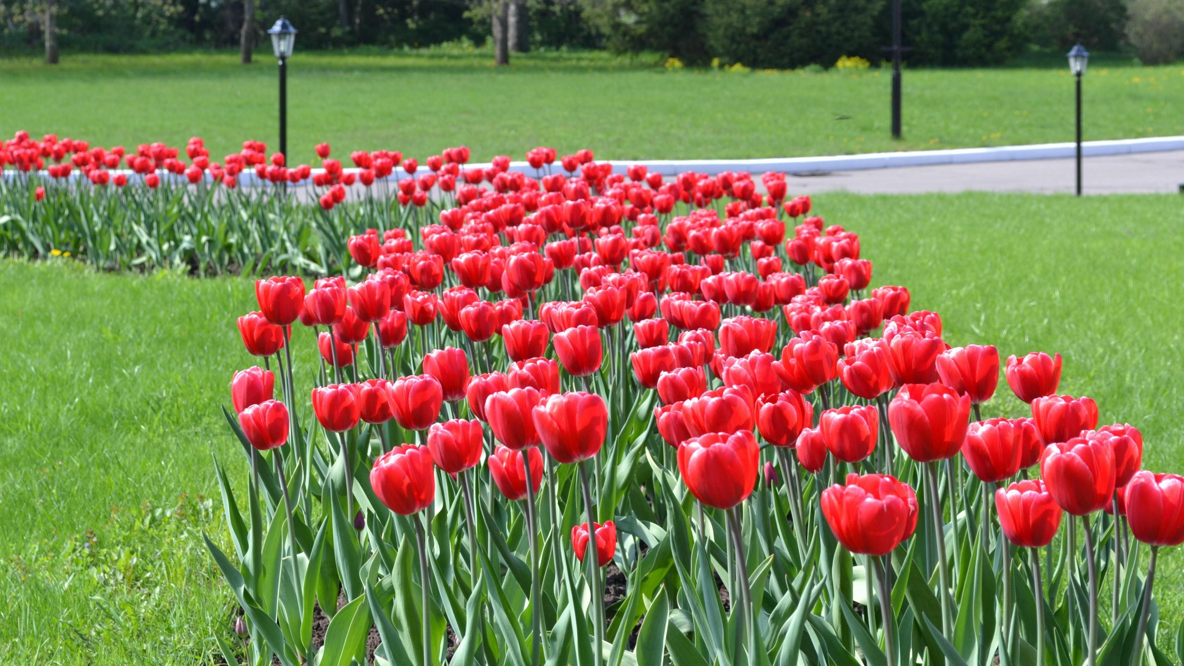tulips flowers flowerbed lawn park lights 4k 1540064314 - tulips, flowers, flowerbed, lawn, park, lights 4k - Tulips, Flowers, flowerbed