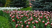 tulips flowers lawn flowerbed blue spruce 4k 1540064133 200x110 - tulips, flowers, lawn, flowerbed, blue spruce 4k - Tulips, lawn, Flowers