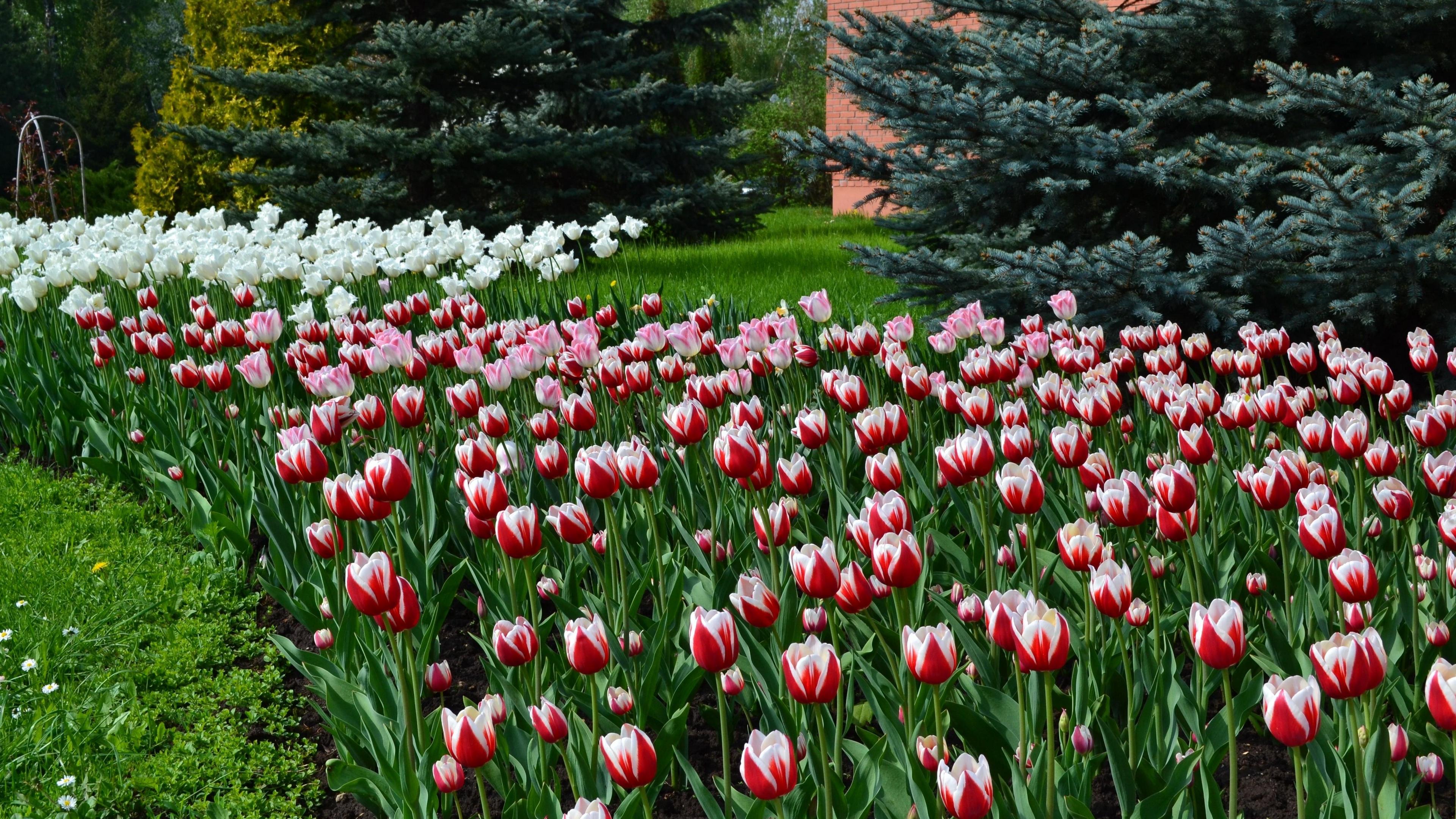 tulips flowers lawn flowerbed blue spruce 4k 1540064133 - tulips, flowers, lawn, flowerbed, blue spruce 4k - Tulips, lawn, Flowers