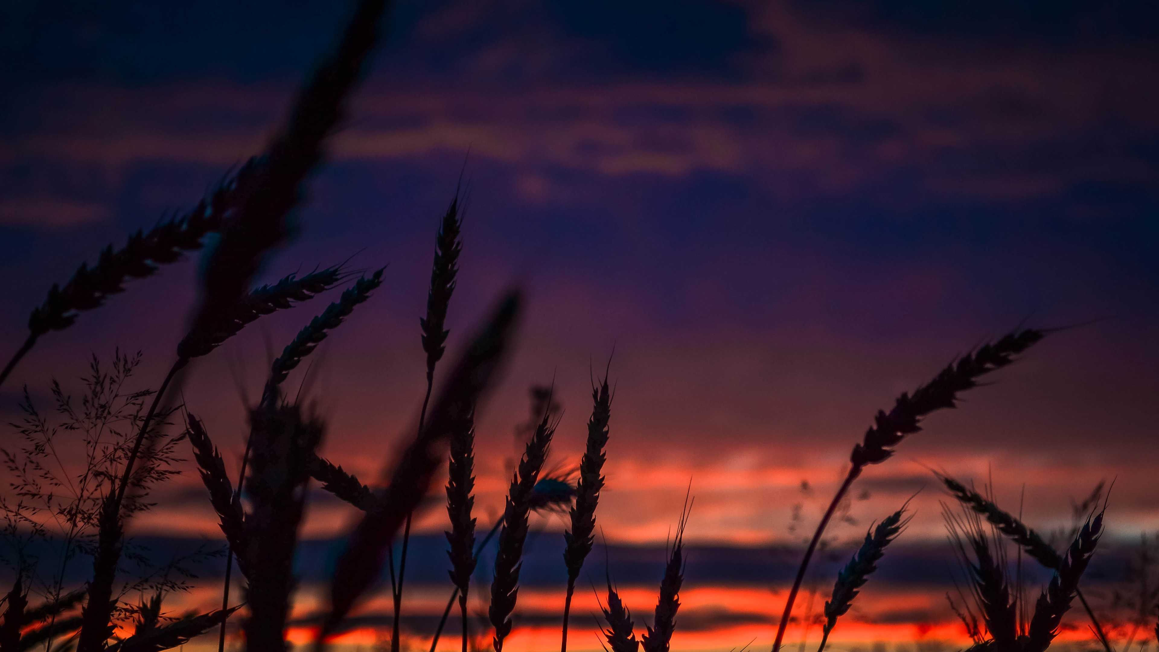 wheats during dawn in landscape photography 1540136543 - Wheats During Dawn In Landscape Photography - wheat wallpapers, photography wallpapers, nature wallpapers, landscape wallpapers, hd-wallpapers, dusk wallpapers, dawn wallpapers, 5k wallpapers, 4k-wallpapers
