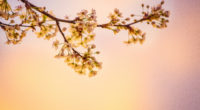 white cherry blossoms 5k 1540136533 200x110 - White Cherry Blossoms 5k - nature wallpapers, hd-wallpapers, flowers wallpapers, cherry wallpapers, 5k wallpapers, 4k-wallpapers