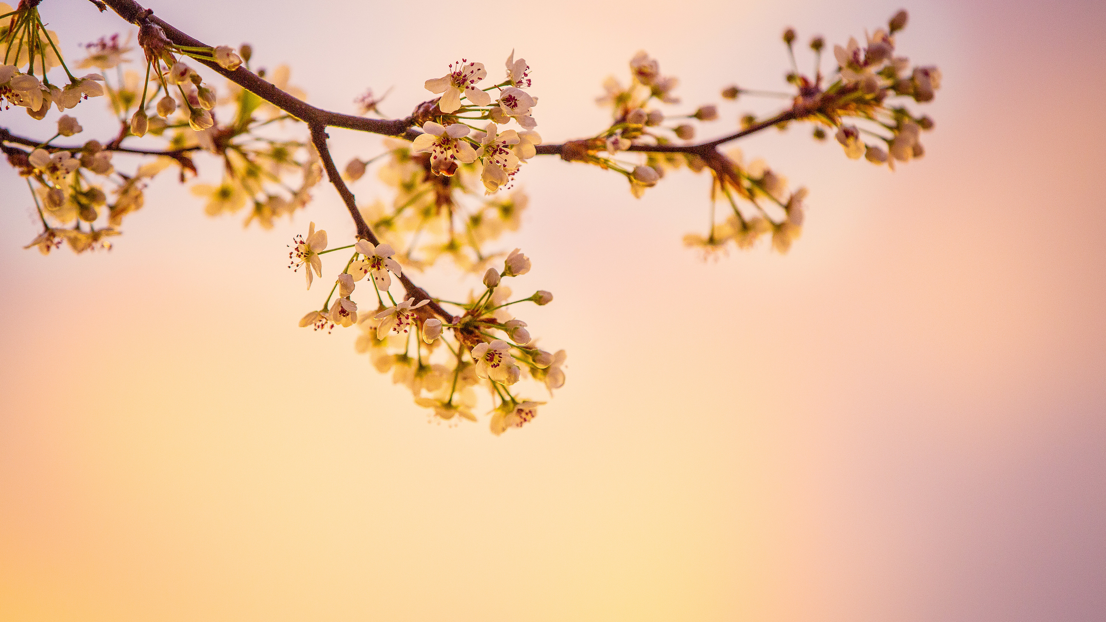 white cherry blossoms 5k 1540136533 - White Cherry Blossoms 5k - nature wallpapers, hd-wallpapers, flowers wallpapers, cherry wallpapers, 5k wallpapers, 4k-wallpapers