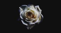 white rose 4k 1540131916 200x110 - White Rose 4k - white wallpapers, white rose wallpapers, rose wallpapers, nature wallpapers