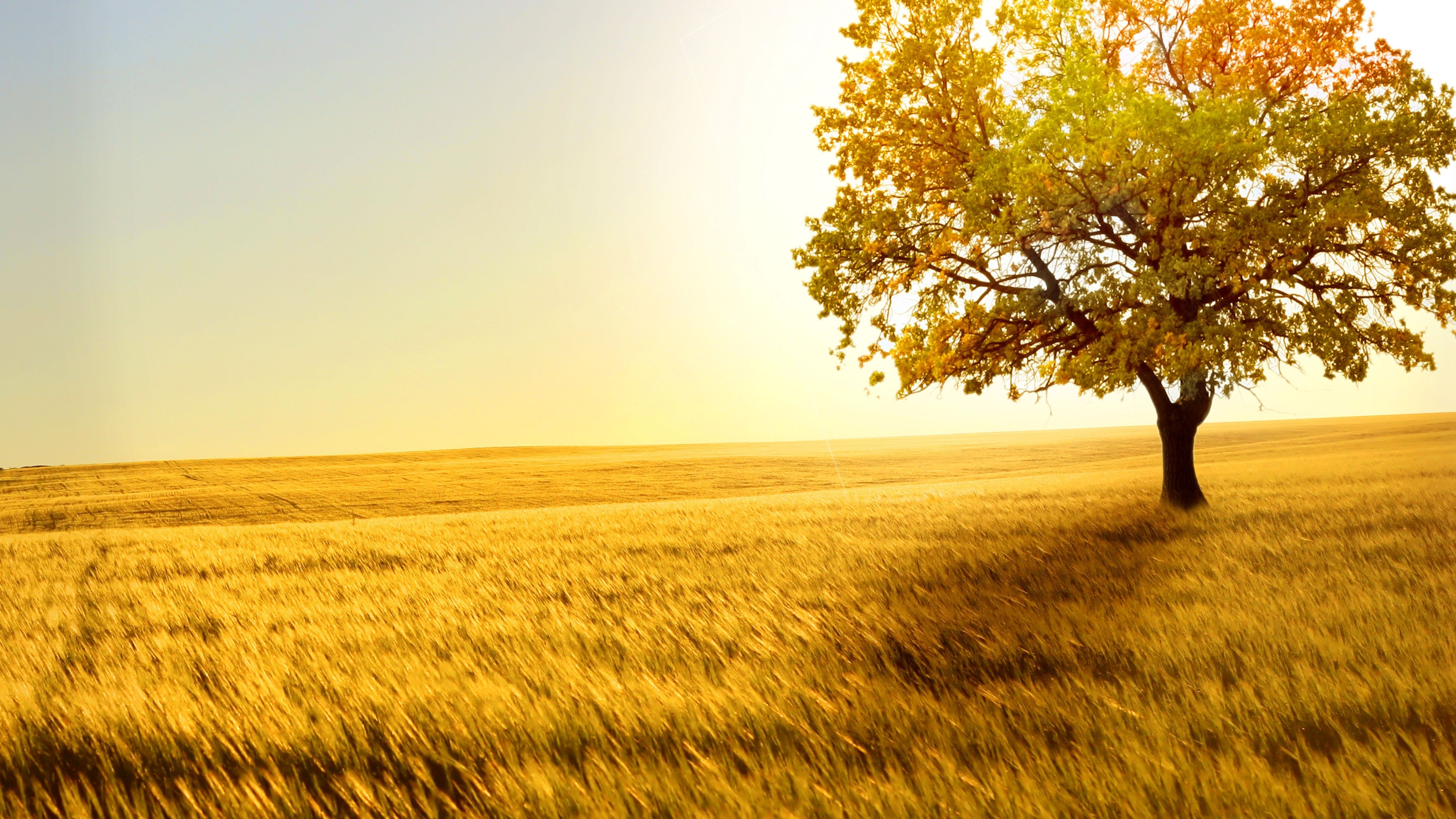 yellow tree in yellow field 4k 1540141102 - Yellow Tree In Yellow Field 4k - trees wallpapers, photography wallpapers, nature wallpapers, landscape wallpapers, hd-wallpapers, field wallpapers, 5k wallpapers, 4k-wallpapers