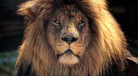 4k lion hd 1542238312 200x110 - 4k Lion Hd - lion wallpapers, hd-wallpapers, animals wallpapers, 4k-wallpapers