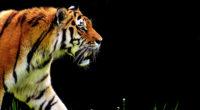 4k tiger predator 1542238381 200x110 - 4k Tiger Predator - tiger wallpapers, predator wallpapers, hd-wallpapers, animals wallpapers, 4k-wallpapers