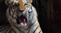 4k tiger 1542238412 200x110 - 4k Tiger - tiger wallpapers, predator wallpapers, hd-wallpapers, animals wallpapers, 4k-wallpapers