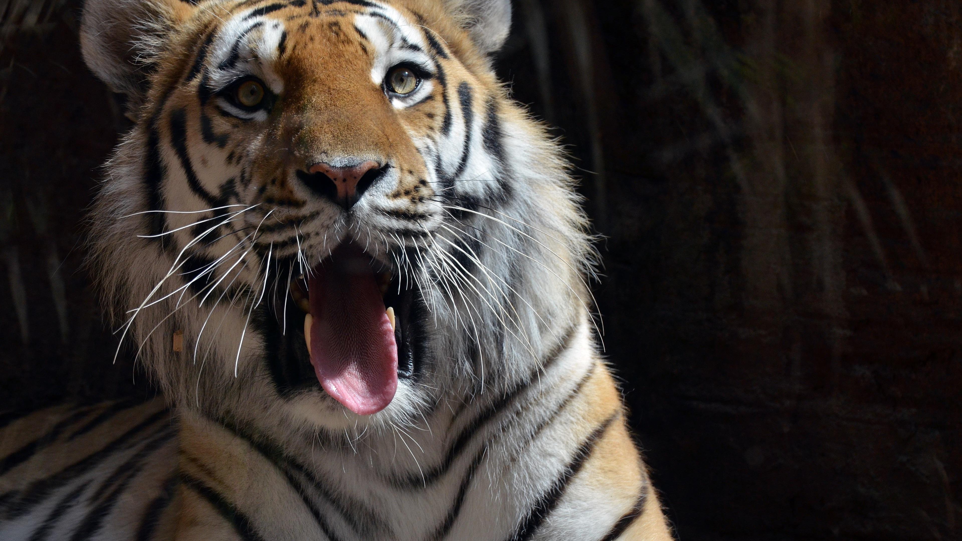 Tiger Resting 4k Hd Desktop Wallpaper For 4k Ultra Hd Tv: 4k Tiger Tiger Wallpapers, Predator Wallpapers, Hd