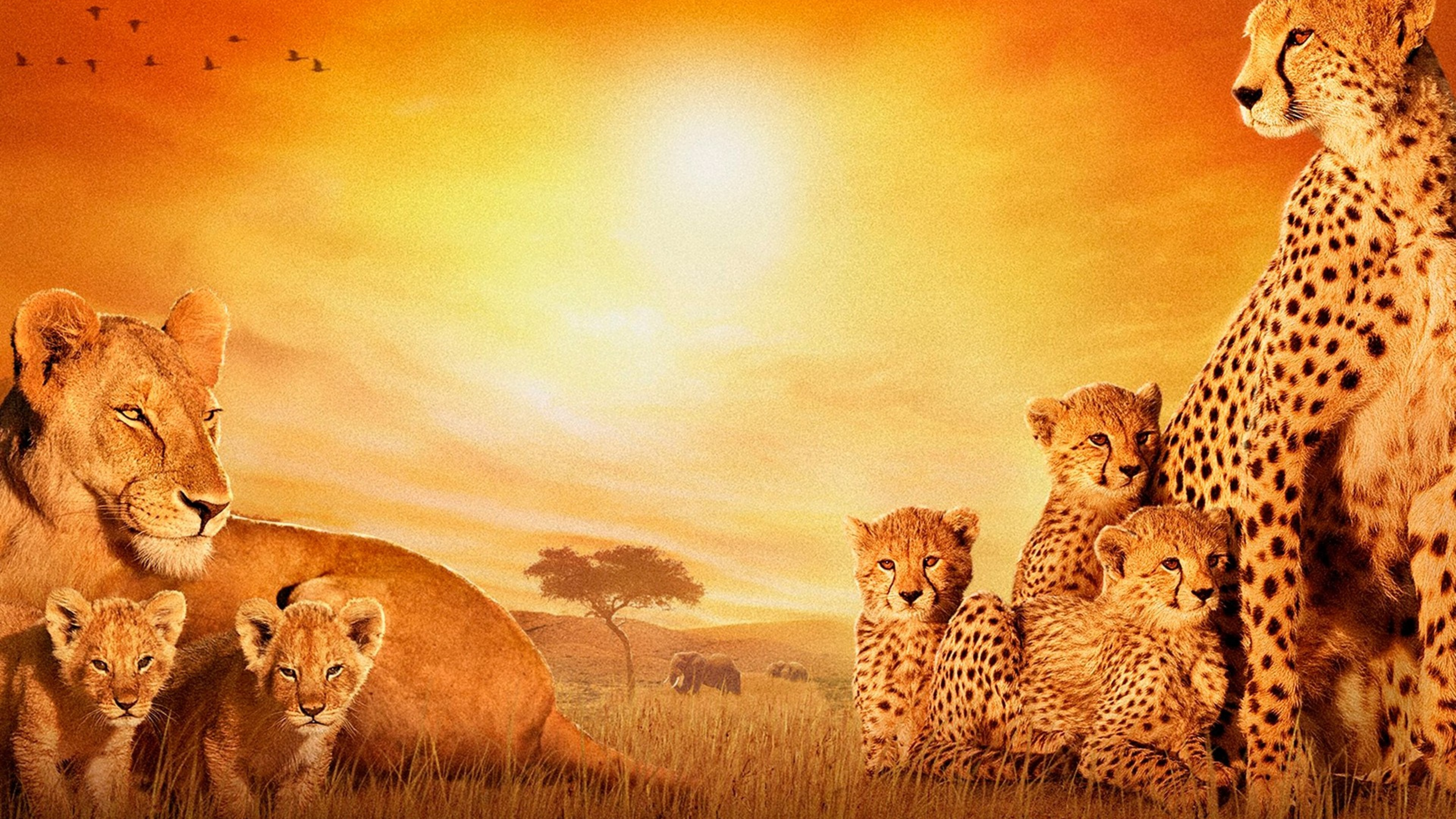 african cats 4k 1542238056 - African Cats 4k - lion wallpapers, cheetah wallpapers, cats wallpapers, animals wallpapers, african wallpapers