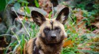 african wild dog predator muzzle 4k 1542243037 200x110 - african wild dog, predator, muzzle 4k - Predator, muzzle, african wild dog