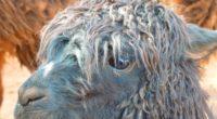 alpaca llama face wool 4k 1542242410 200x110 - alpaca, llama, face, wool 4k - llama, Face, alpaca