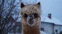 alpaca muzzle cute look 4k 1542242080 200x110 - alpaca, muzzle, cute, look 4k - muzzle, Cute, alpaca