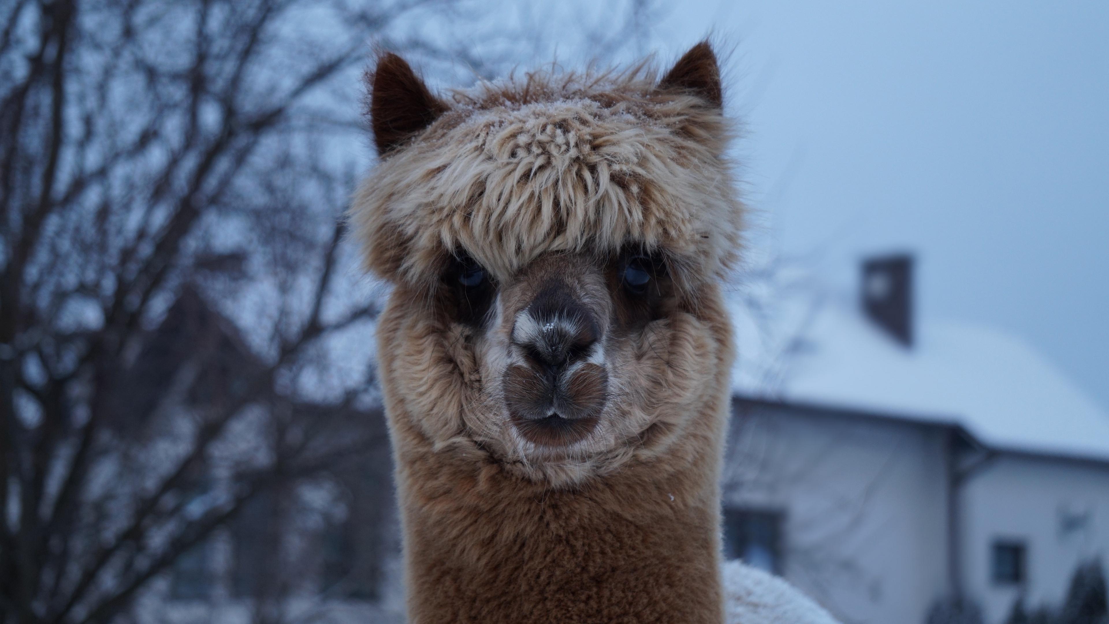 alpaca muzzle cute look 4k 1542242080 - alpaca, muzzle, cute, look 4k - muzzle, Cute, alpaca