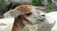alpaca vicuna face wool 4k 1542242585 200x110 - alpaca, vicuna, face, wool 4k - vicuna, Face, alpaca
