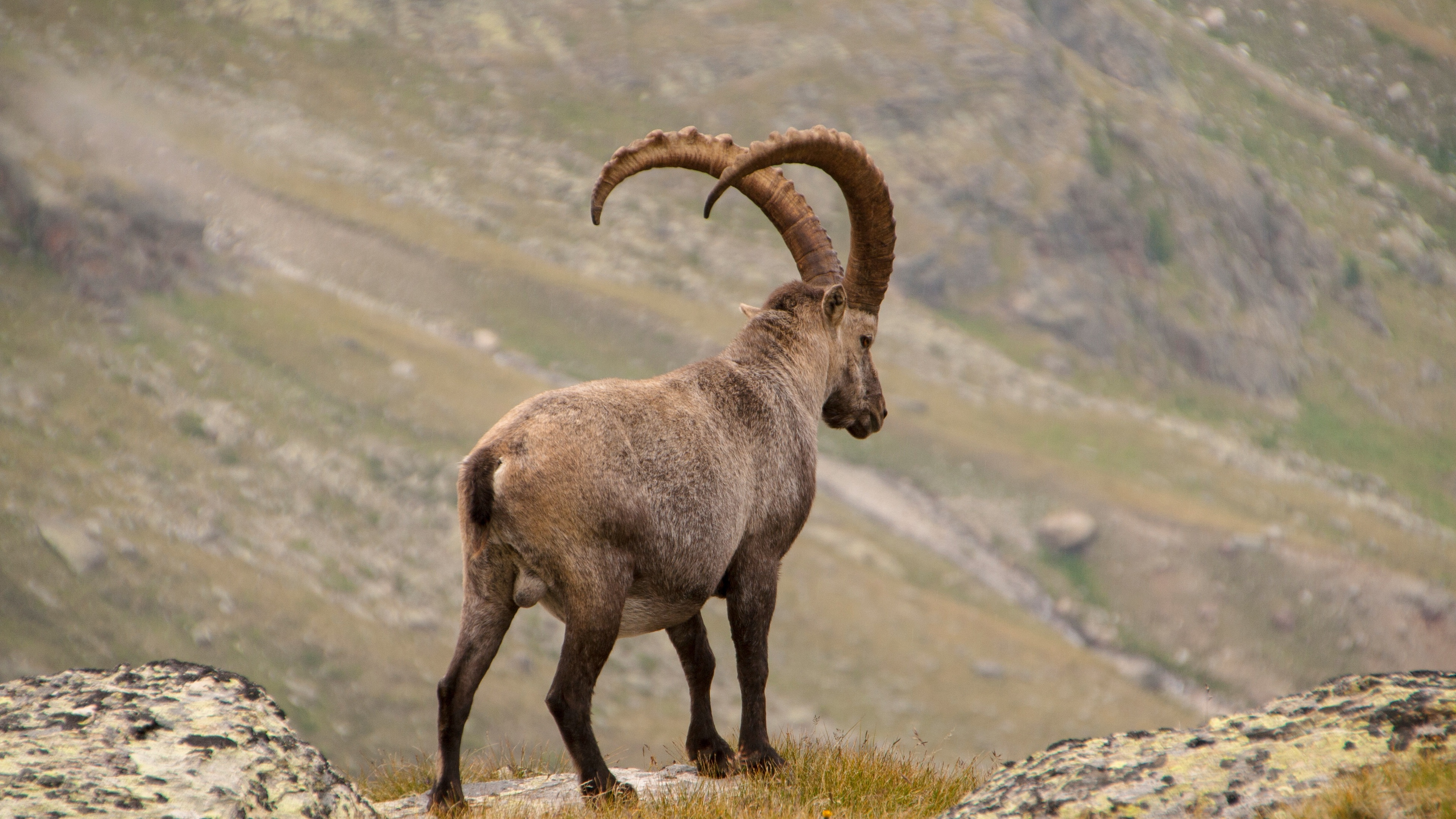 alpine ibex goat mountains horns 4k 1542242617 - alpine ibex, goat, mountains, horns 4k - Mountains, goat, alpine ibex