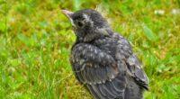 american robin bird grass 4k 1542241828 200x110 - american robin, bird, grass 4k - Grass, Bird, american robin