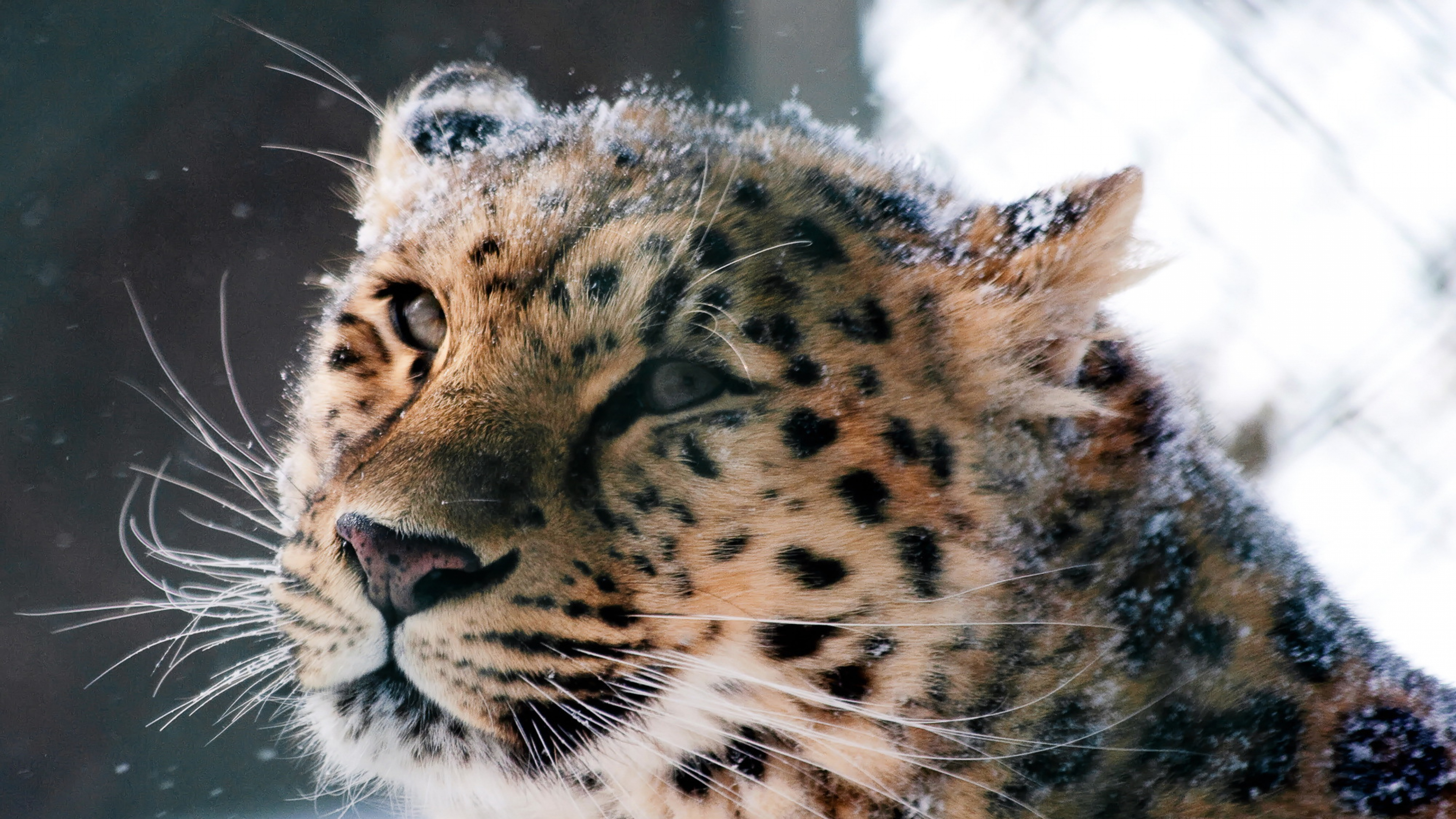 amur leopard wild cat 4k 1542237745 - Amur Leopard Wild Cat 4k - wild wallpapers, predator wallpapers, leopard wallpapers, cat wallpapers, animals wallpapers