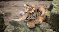 amur tiger cub lies predator rocks 4k 1542242433 200x110 - amur tiger, cub, lies, predator, rocks 4k - lies, Cub, amur tiger