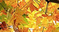 autumn leaves branches tree maple 4k 1541113992 200x110 - autumn, leaves, branches, tree, maple 4k - Leaves, branches, Autumn