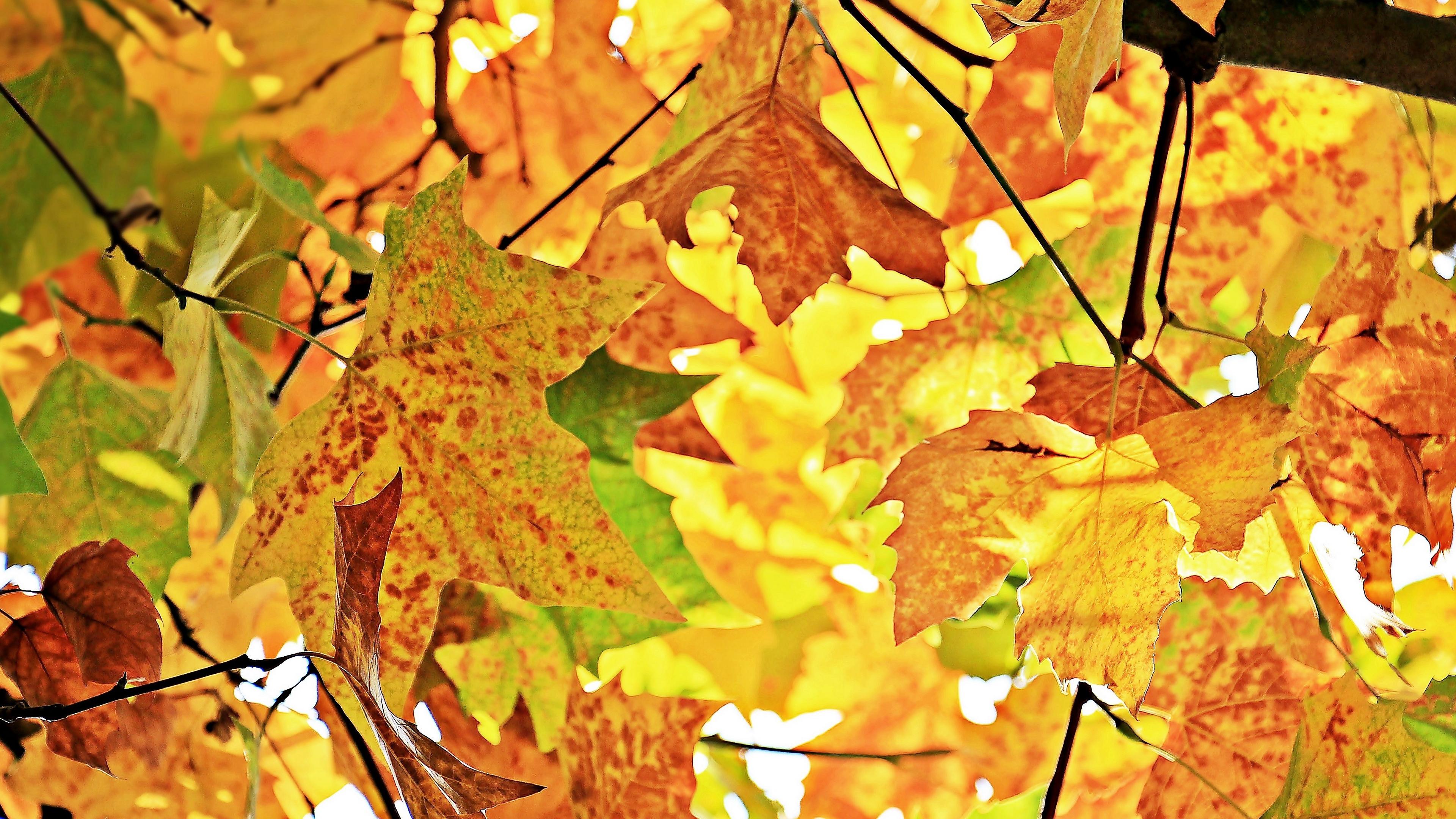 autumn leaves branches tree maple 4k 1541113992 - autumn, leaves, branches, tree, maple 4k - Leaves, branches, Autumn