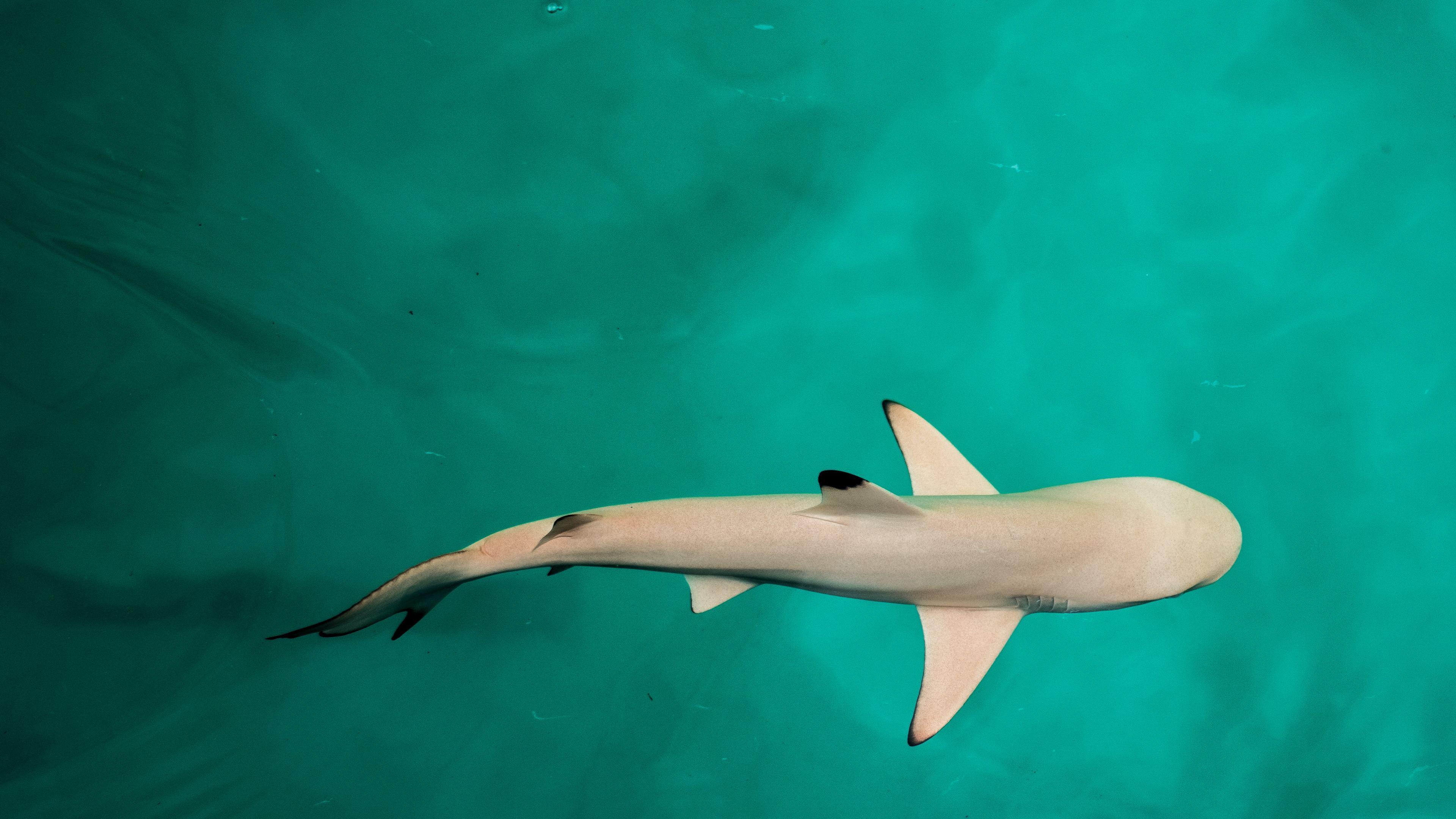 baby shark 4k 1542239080 - Baby Shark 4k - underwater wallpapers, shark wallpapers, hd-wallpapers, fish wallpapers, animals wallpapers, 4k-wallpapers
