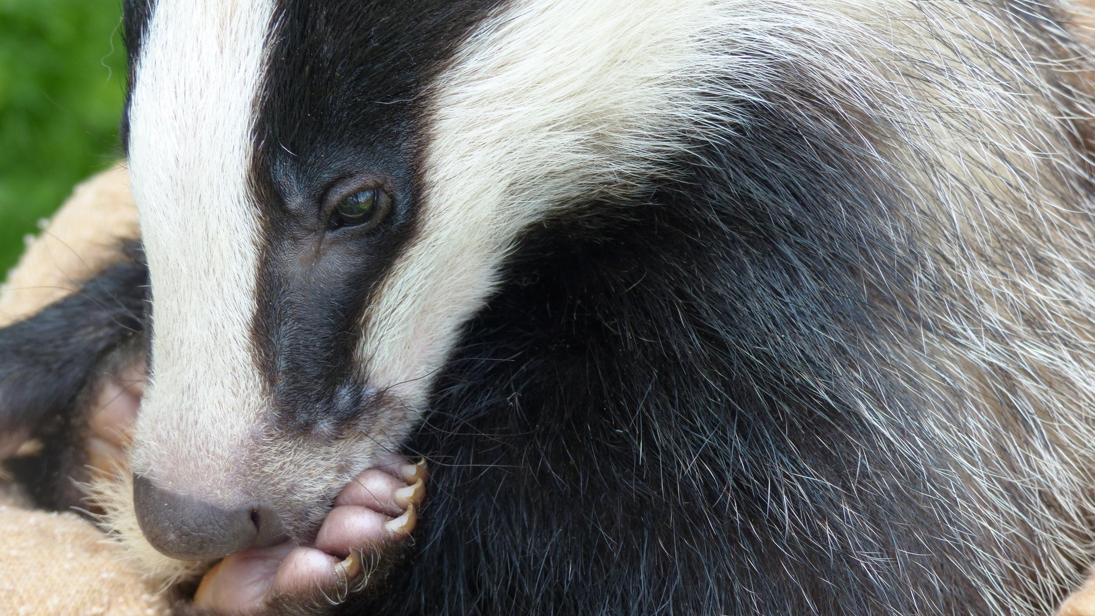 badger face eyes paw 4k 1542242901 - badger, face, eyes, paw 4k - Face, Eyes, badger