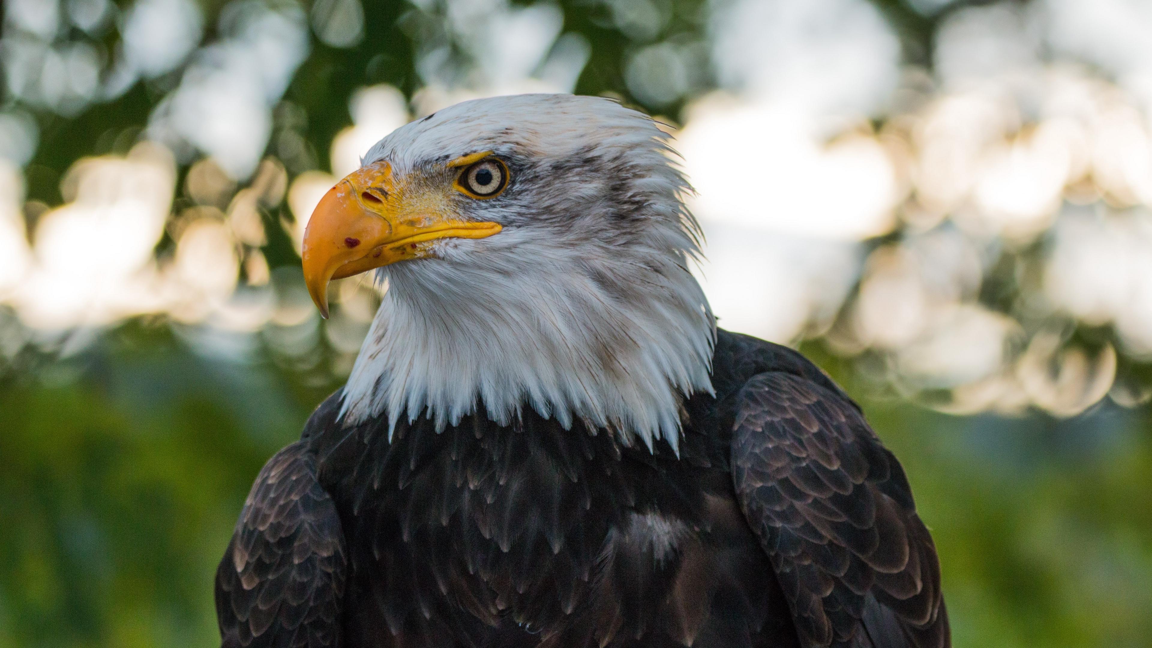 bald eagle eagle bird predator 4k 1542242434 - bald eagle, eagle, bird, predator 4k - Eagle, Bird, bald eagle