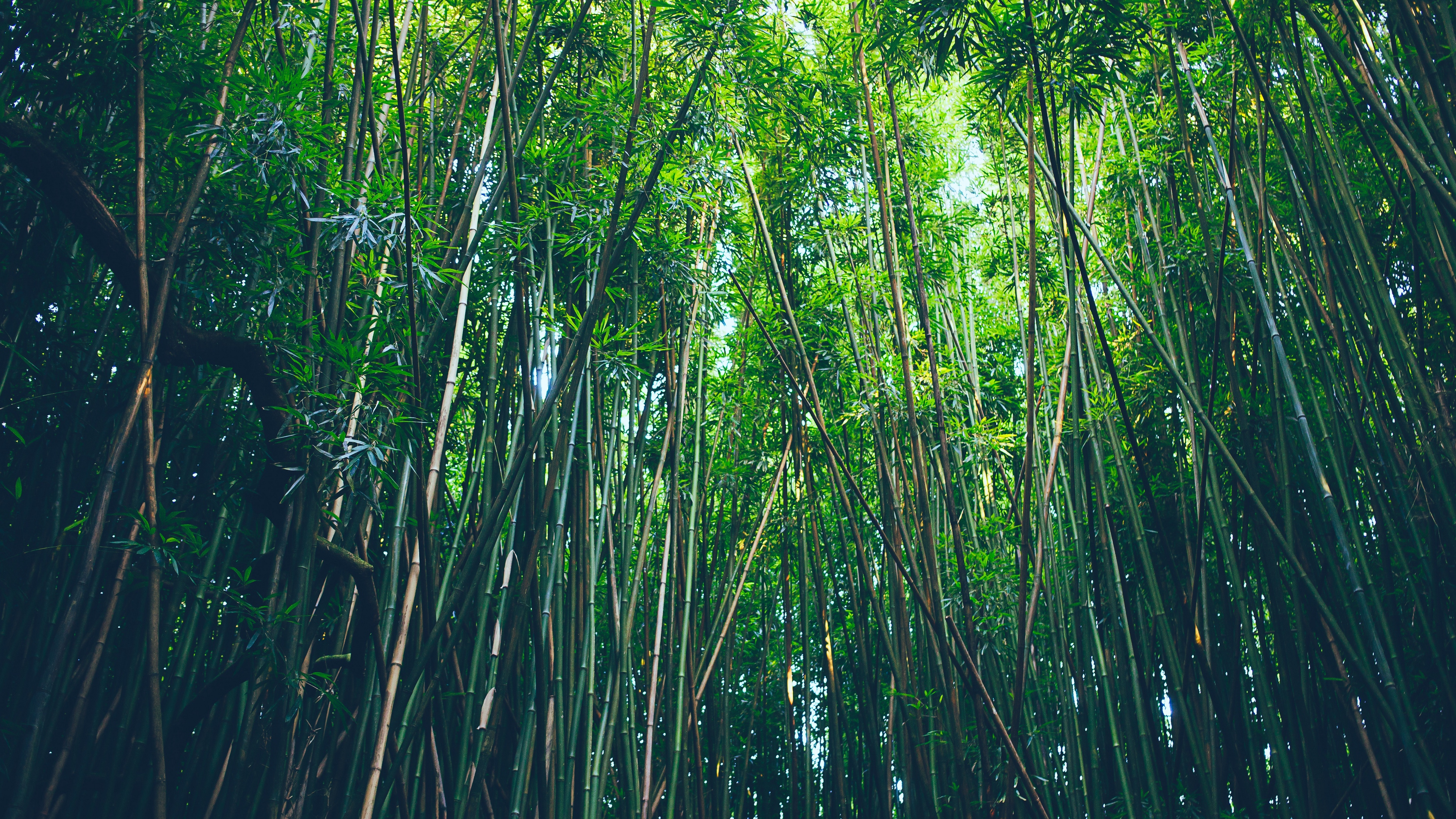 bamboo trees thickets 4k 1541117412 - bamboo, trees, thickets 4k - Trees, thickets, bamboo