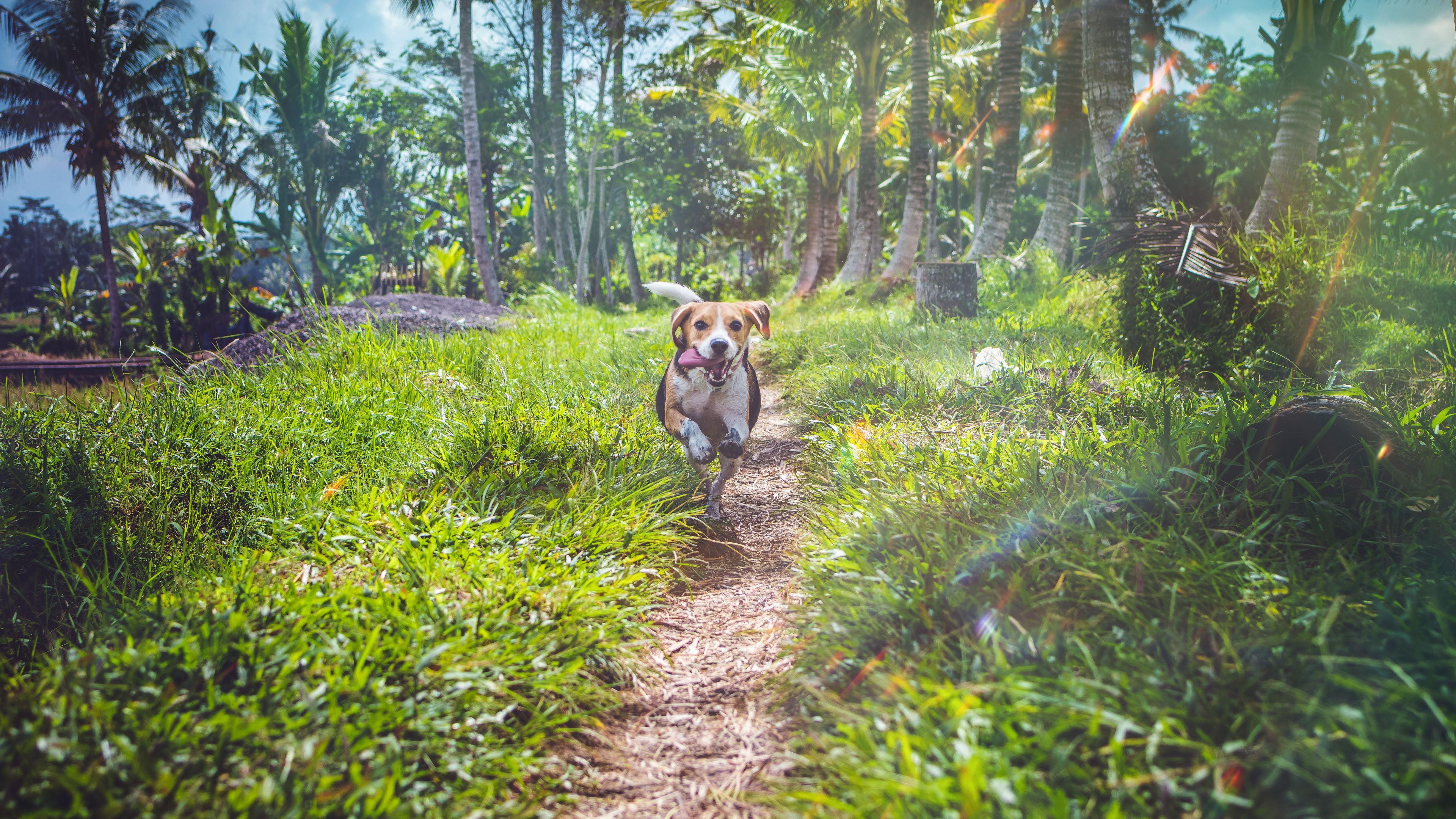beagle dog in joy 4k 1542239638 - Beagle Dog In Joy 4k - hd-wallpapers, dog wallpapers, beagle wallpapers, animals wallpapers, 4k-wallpapers
