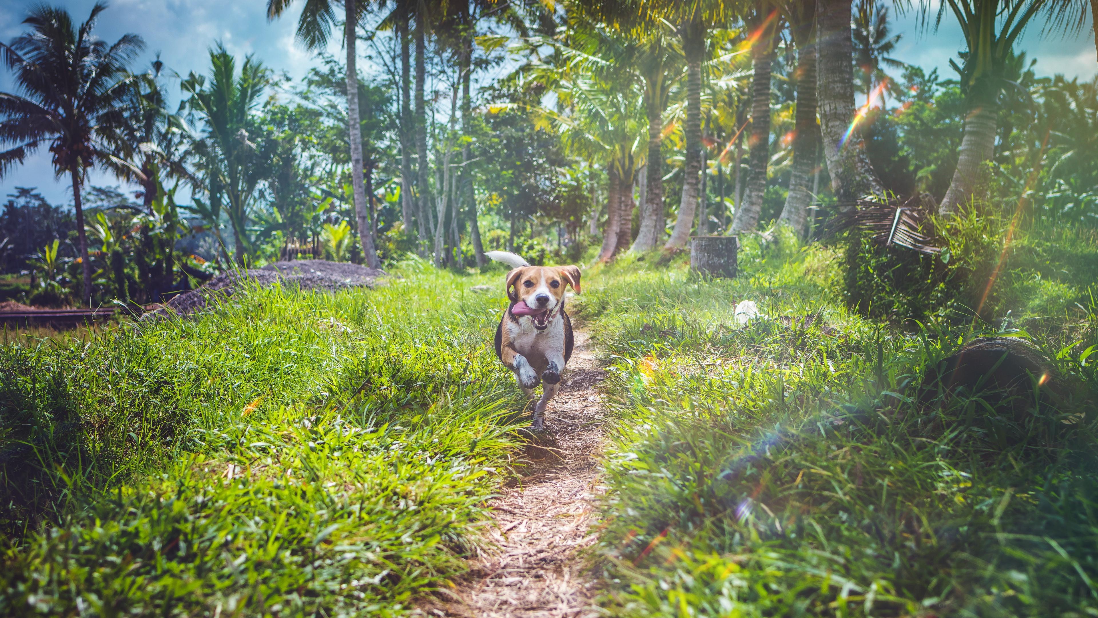 beagle dog running path grass 4k 1542242105 - beagle, dog, running, path, grass 4k - Running, Dog, Beagle