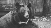 bear black sadness look bw 4k 1542241433 200x110 - bear, black, sadness, look, bw 4k - sadness, Black, Bear