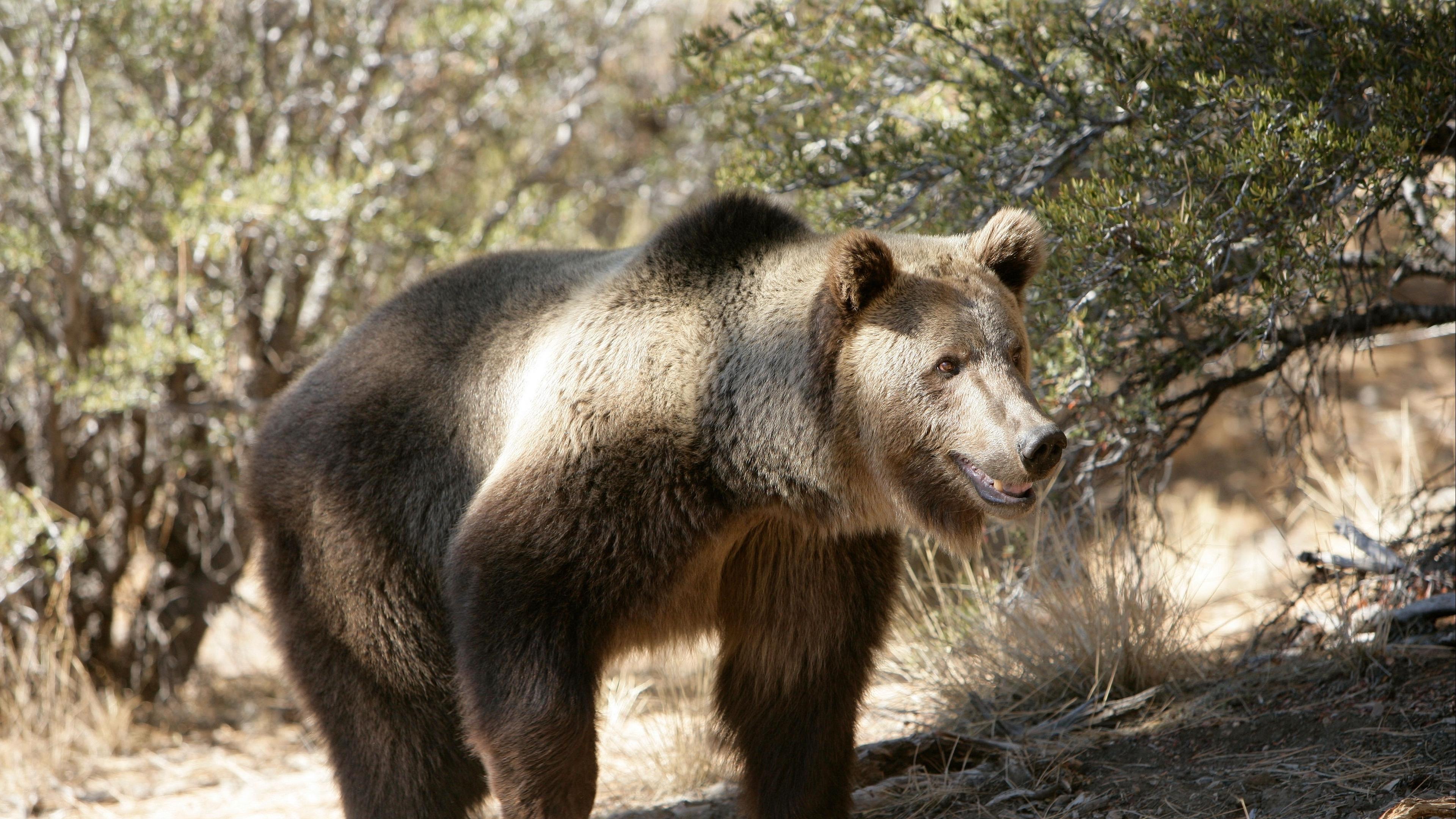 bear grass trees rocks walk 4k 1542242304 - bear, grass, trees, rocks, walk 4k - Trees, Grass, Bear