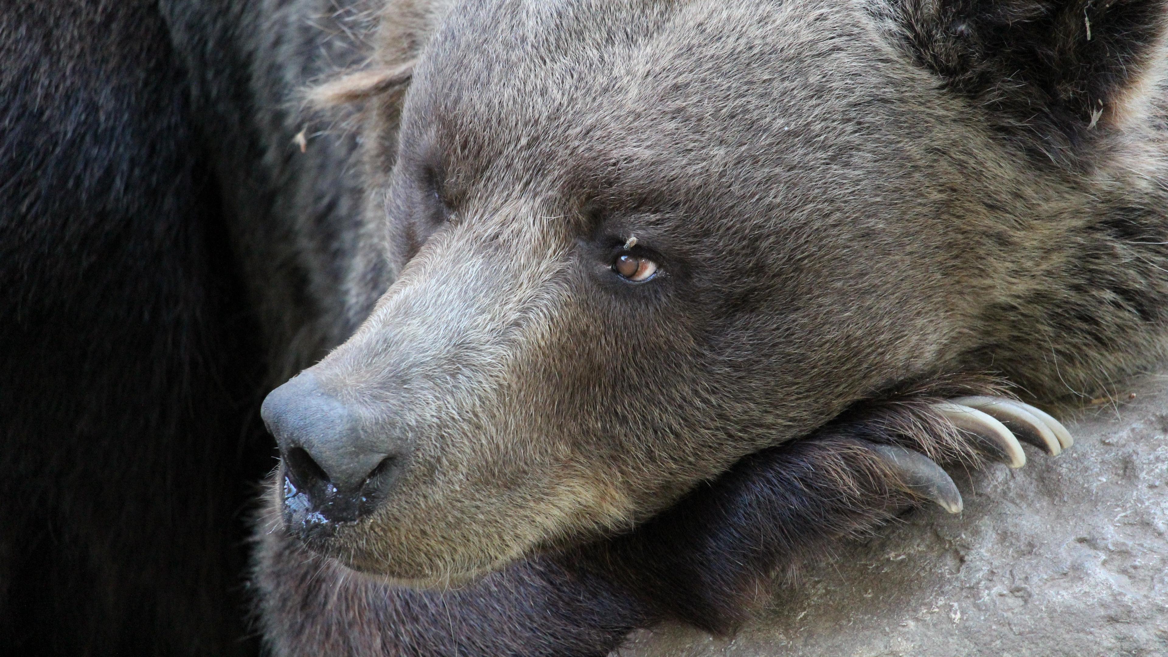 bear muzzle paw claws 4k 1542242587 - bear, muzzle, paw, claws 4k - paw, muzzle, Bear