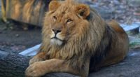 beard lion 1542239090 200x110 - Beard Lion - lion wallpapers, hd-wallpapers, animals wallpapers, 4k-wallpapers