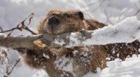 beaver branch gnawing snow 4k 1542241927 200x110 - beaver, branch, gnawing, snow 4k - gnawing, branch, beaver