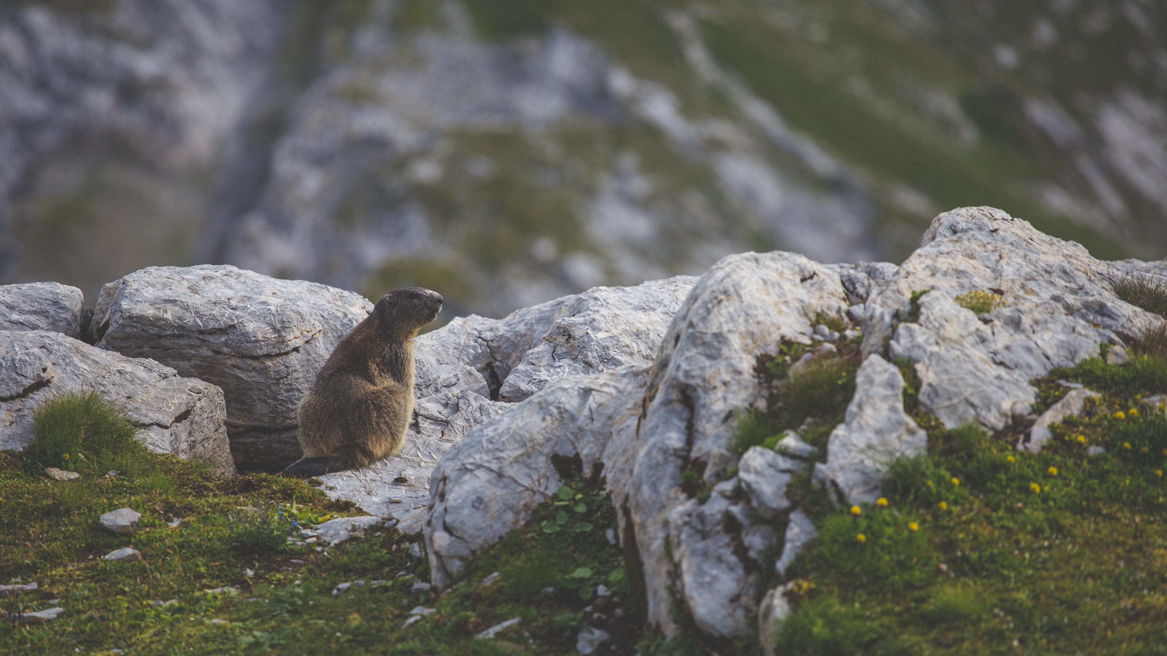 beaver sitting grass rocks 4k 1542242964 - beaver, sitting, grass, rocks 4k - Sitting, Grass, beaver
