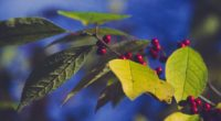 berries branch leaves 4k 1541114738 200x110 - berries, branch, leaves 4k - Leaves, branch, berries
