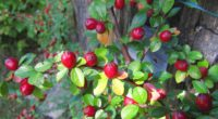 berries shrubs nature 4k 1541114710 200x110 - berries, shrubs, nature 4k - shrubs, Nature, berries